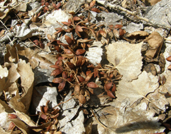 semillas de álamo