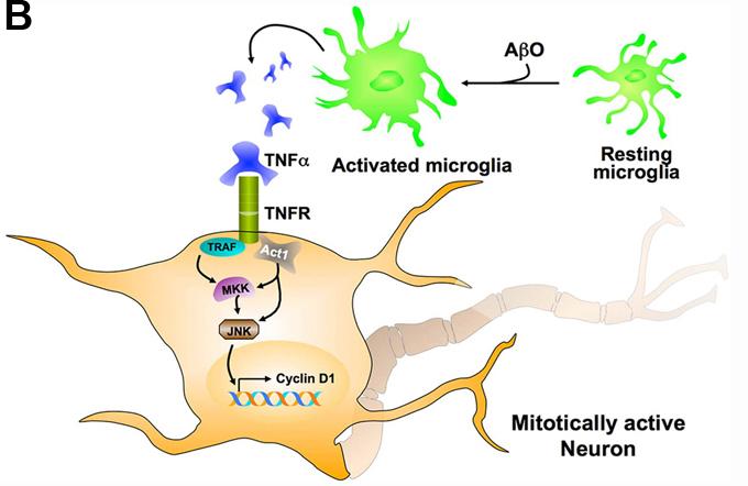 Neurona mitóticamente activa