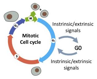 Ciclo celular mitótico