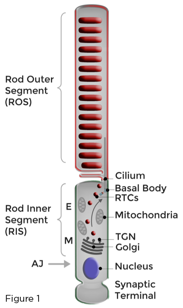 ros-figura-1